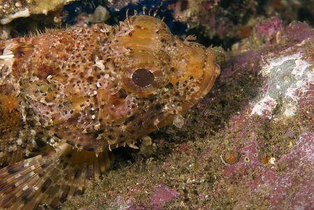 reef fish: Fish scorpion fish underwater at California reef