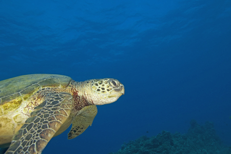 salt water fish: Turtle swimming at Hawaii coral reef Stock Photo