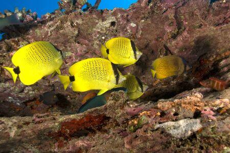reef fish: Tropical fish at Hawaii coral reef Stock Photo