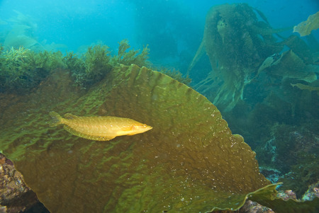 salt water fish: Seaweed and kelp fish at California reef