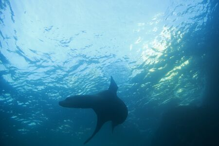 lucas: Sea lion swimming at Cabo San Lucas, Mexico reef Stock Photo