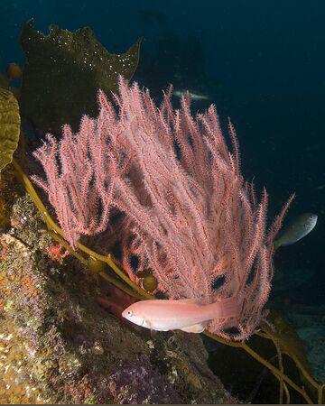reef fish: Fish at California underwater reef