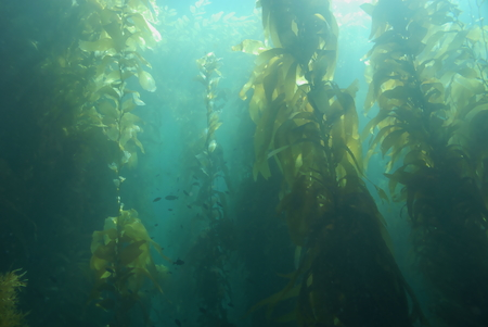 Seaweed kelp forest underwater California coast