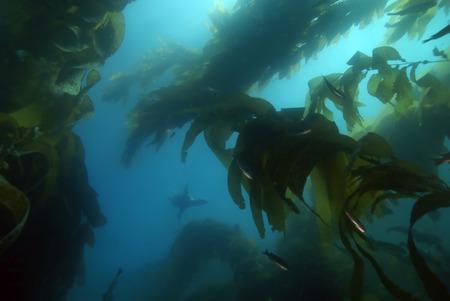 alga marina: León de mar nadando en el bosque de algas marinas de California