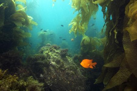 Seaweed kelp forest landscape