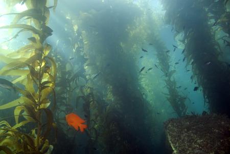 Seaweed kelp forest at California island