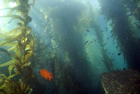 Seaweed kelp forest at California island