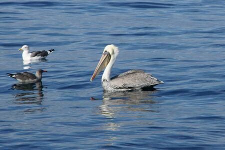 pacific ocean: Seagulls and pelican floating at Pacific Ocean