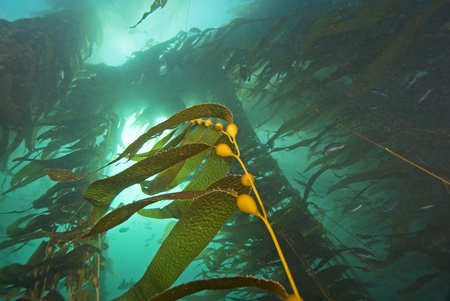 Seaweed kelp floating underwater at Catalina Island