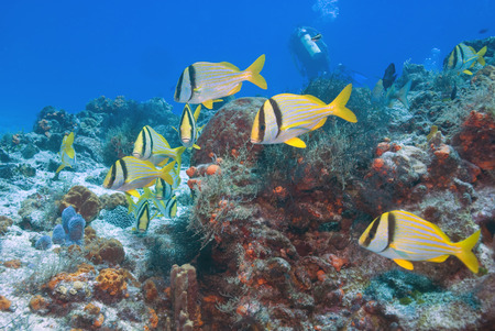 Tropical fish school swimming at Cozumel, Mexico reef