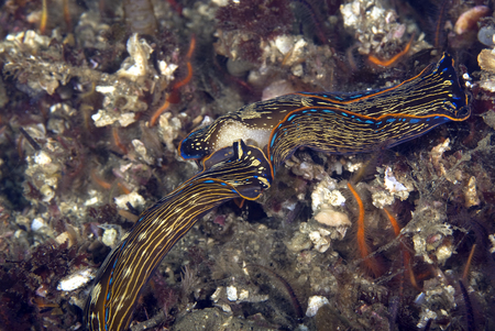 nudi: Sea slugs Navanax at California reef Stock Photo