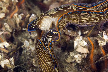 nudi: Sea slugs underwater at Pacific Ocean reef