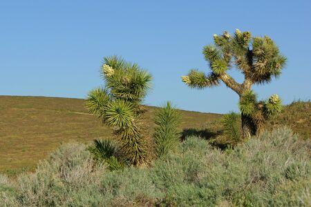 yucca: Joshua trees yucca plant at California Poppy Reserve
