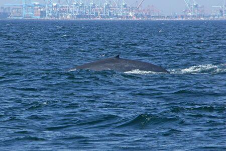 Juvenile blue whale at Los Angeles harbor
