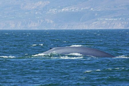migrate: Blue whales migrate along California coast