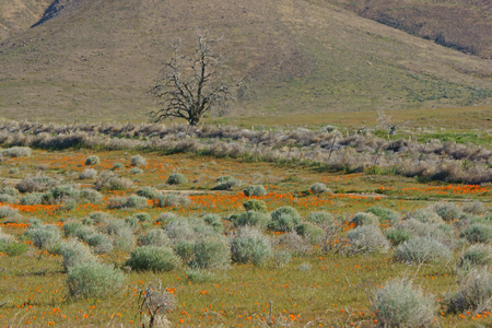 trees with thorns: Flower bloom at California Poppy Reserve Stock Photo