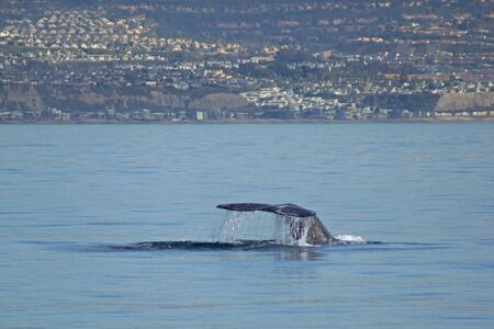 gray whale: California Gray Whale tail in Pacific Ocean