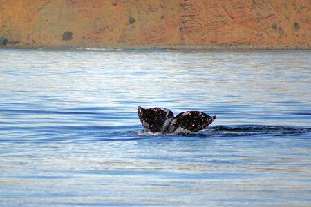 gray whale: Whale swimming along California coast