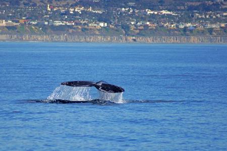 orange county: Whale swims along California coast Stock Photo