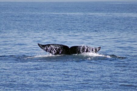 orange county: Whale tail in the Pacific Ocean