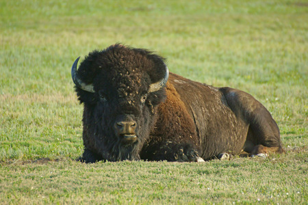 Bison bull at Badlands National Park in South Dakota