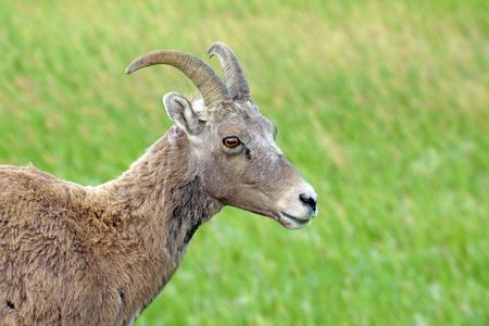 ewes: Big horn sheep at Badlands National Park Stock Photo