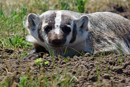 beast ranch: Badger at Custer State Park in South Dakota