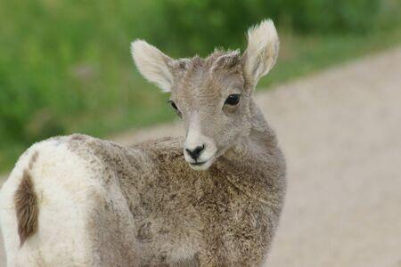 borrego cimarron: juvenil borrego cimarr�n en el Parque Nacional Badlands