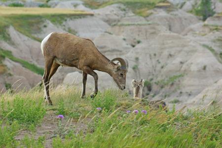 bighorn sheep: Bighorn sheep at Badlands National Park Stock Photo