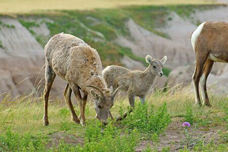 borrego cimarron: borrego cimarrón y juvenil en el Parque Nacional Badlands