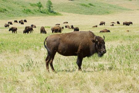 south dakota: Bison and herd at South Dakota
