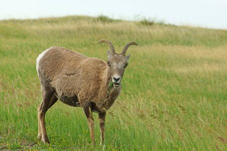 borrego cimarron: borrego cimarr�n en el Parque Nacional Badlands