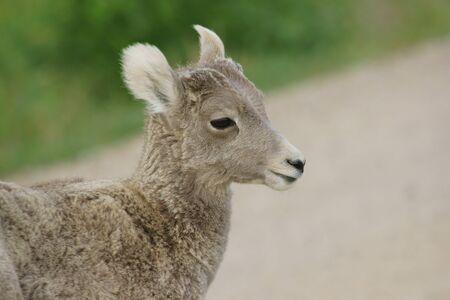 borrego cimarron: El borrego cimarr�n joven en el Parque Nacional Badlands Foto de archivo