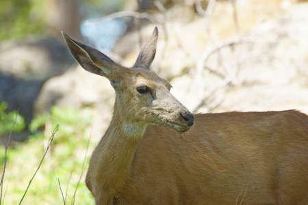 ewes: Deer at Devils Tower National Park