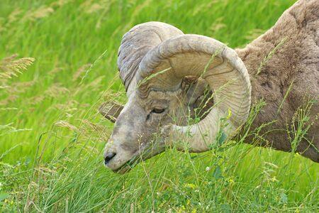 borrego cimarron: carnero borrego cimarr�n en el Parque Nacional Badlands Foto de archivo
