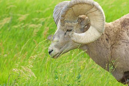 borrego cimarron: Ram borrego cimarr�n en las tierras bald�as