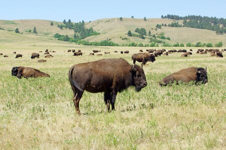mount rushmore: Buffalo herd at grassland in Custer State Park in South Dakota Stock Photo