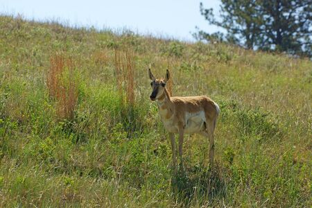 mount rushmore: Pronghorn antelope at Custer State Park