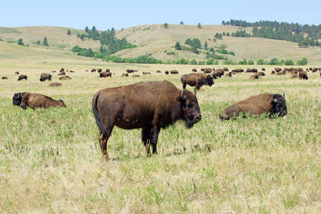 mount rushmore: Buffalo at Custer State Park Stock Photo