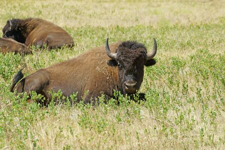 mount rushmore: Buffalo in grassland meadow at Custer State Park
