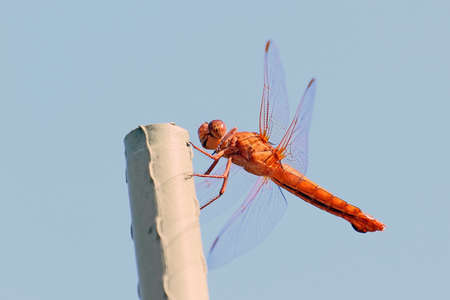 dragon fly: Dragon fly insect and wings