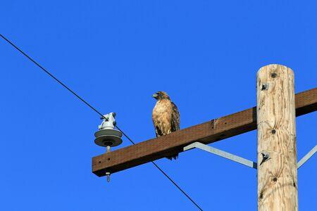 bird of prey: Hawk bird of prey hunting from perch