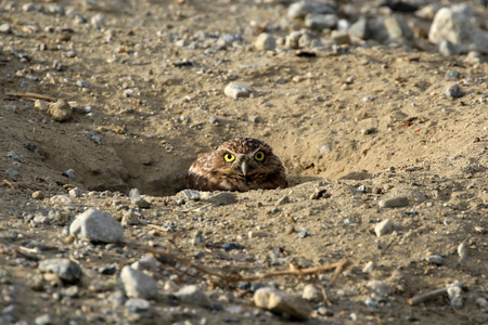 burrowing: Bird burrowing owl at twilight
