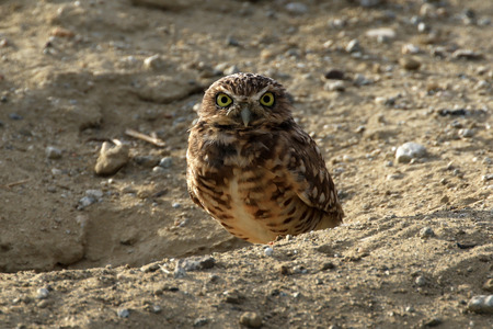 burrowing: Bird Burrowing Owl Stock Photo