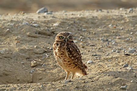 burrowing: Bird of prey burrowing owl