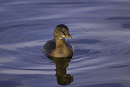 Bird grebe at Los Angeles area lake