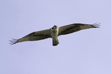 Bird osprey flying over Los Angeles River