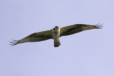 Oiseau balbuzard survolant Los Angeles River Banque d'images - 66289205