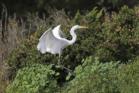 Bird Great Egret flying at river
