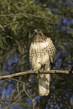 Faucon au sommet de l'arbre perche Banque d'images - 66289300